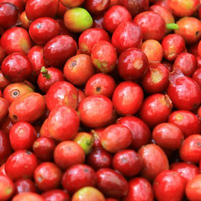 Unsorted cherry at a Burundi station. It still looks fairly uniform in terms of ripeness with only a few uner and over ripe coffee cherries.