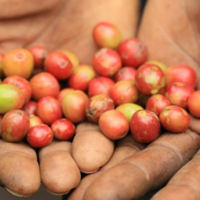 A worker shows coffee cherry that is not fully ripe and has been pulled from the rest of the day's harvest. Kahungu, Congo.