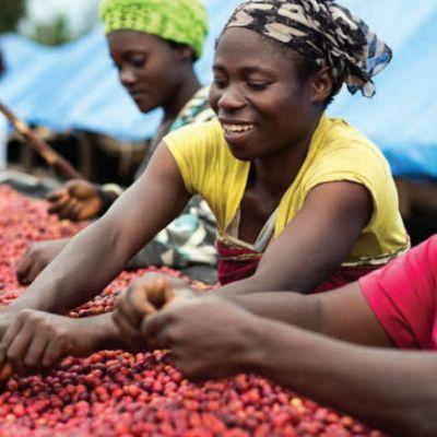 Sorting through drying coffee cherry at the Katana processing site, South Kivu.