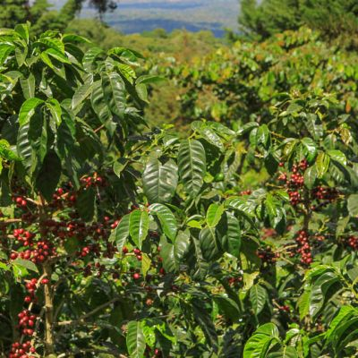 Vibrant green backdrop for ripe red Bourbon to pop out against