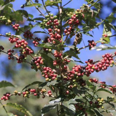 Ripe coffee cherry on the Limu Kossa Farm