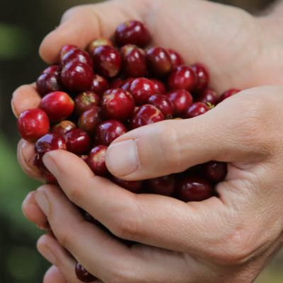 A handful of coffee cherry at near perfect ripeness at a wet mill in Shakiso area, Guji Zone, Ethiopia.