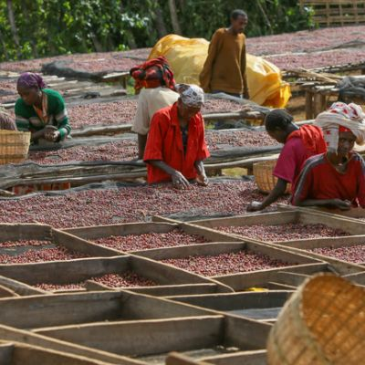 Workers at the Aricha private coffee processing station hand sort through whole coffee cherry to prepare their grade 1 naturals. Yirga Cheffe, Ethiopia.