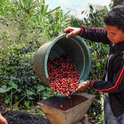 Loading buckets of cherry into a small hand-crank depulpler in Flores