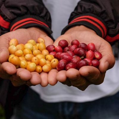 Yellow and red coffee cherries at a small farm we visited during our various stops at coffee cooperatives and farms in the Ngada Regency, Flores.