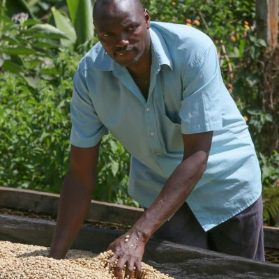 A worker spreads the parchment-lined green coffee around as it dries on raised drying beds at Fram Farm to facilitate even drying.
