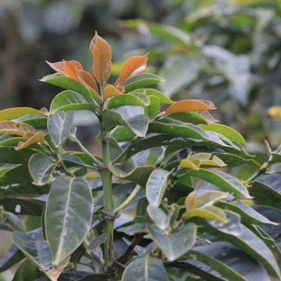 Bronze leaves grow on this green coffee shrub at a small coffee farm in Jaen, near Chontali, Peru.