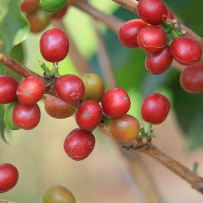 Red ripe cherry at a farm in Nyamasheke, Rwanda