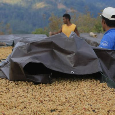 Beds filled with honey process coffee being uncovered for drying in Haupu.