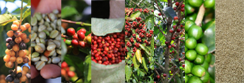 Colorful collage with photos of coffee cherries and coffee beans